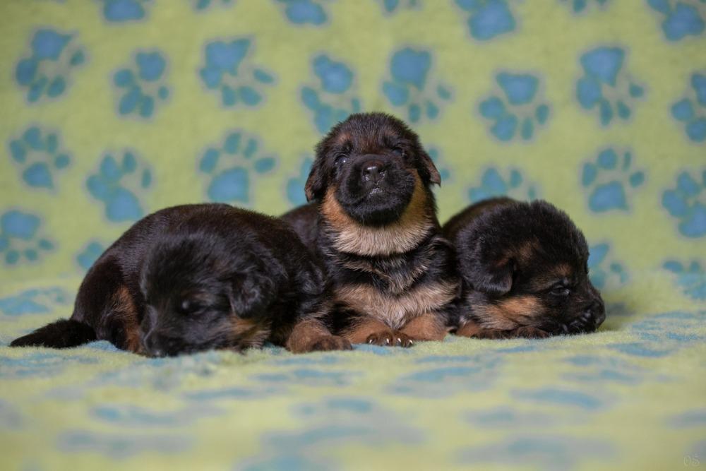 Německý ovčák-štěňata - černá se znaky - prodej