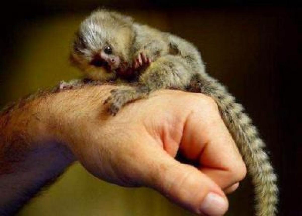 Opice Marmoset na adopciu