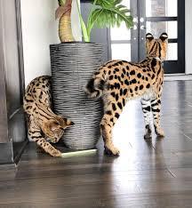 F1 mačiatka Savannah na adopciu.