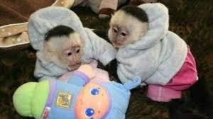 Opice kapucínové na adopciu